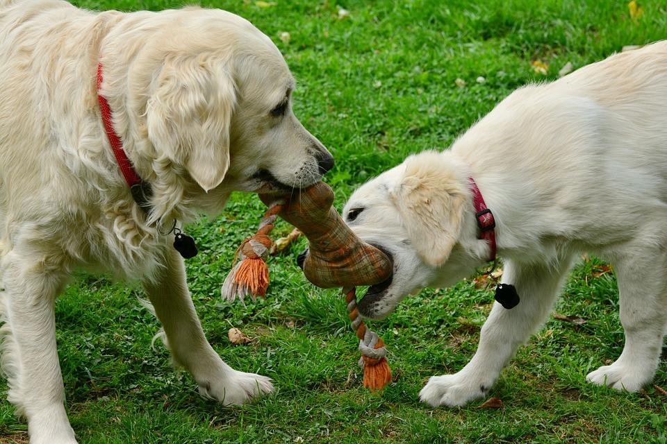 Perros jugando con juguete