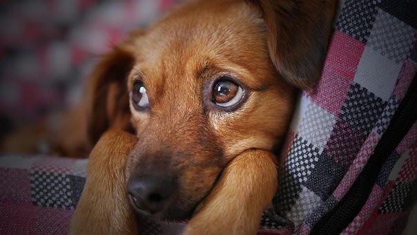 Enfermedades de los ojos en los perros por qué ocurren