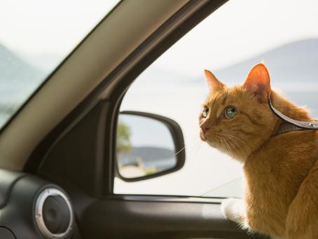TIPS para viajar con gatos: Disfruta pasear con tu mascota