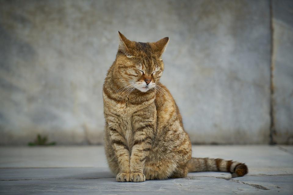 Cómo saber si tu gato está sintiendo dolor