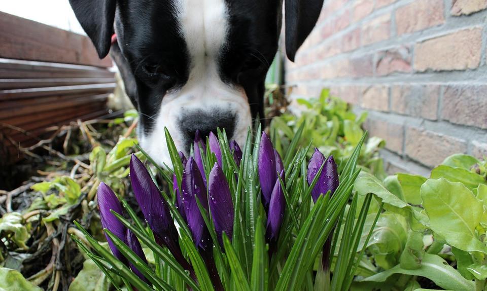 Mitos sobre perros oliendo flores en el jardín