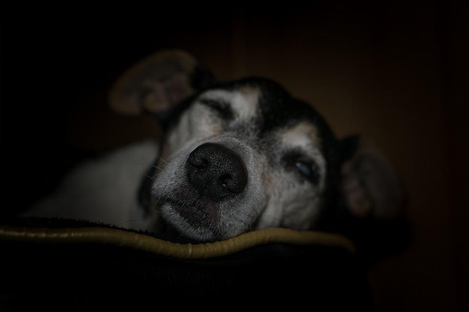 Problemas neurológicos en perros ancianos