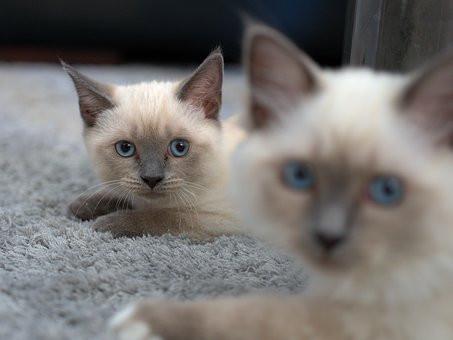 Cómo vivir con dos gatos en apartamento