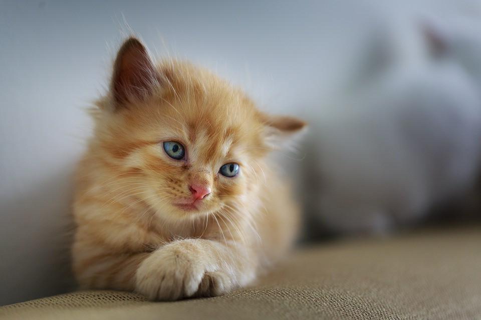 Gastritis en gatos por qué ocurre