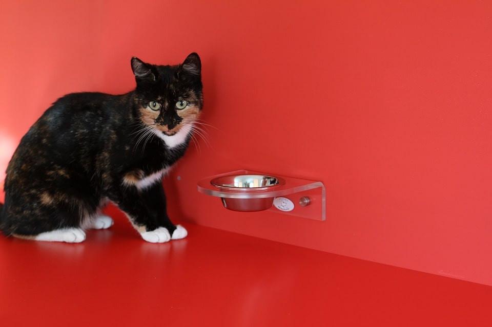 Como saber el peso ideal de tu gato según su alimentación