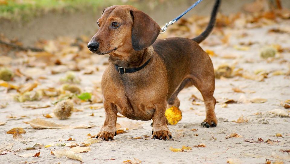 Características del perro salchicha