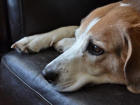 Torsión gástrica en perros: ¡común y letal!