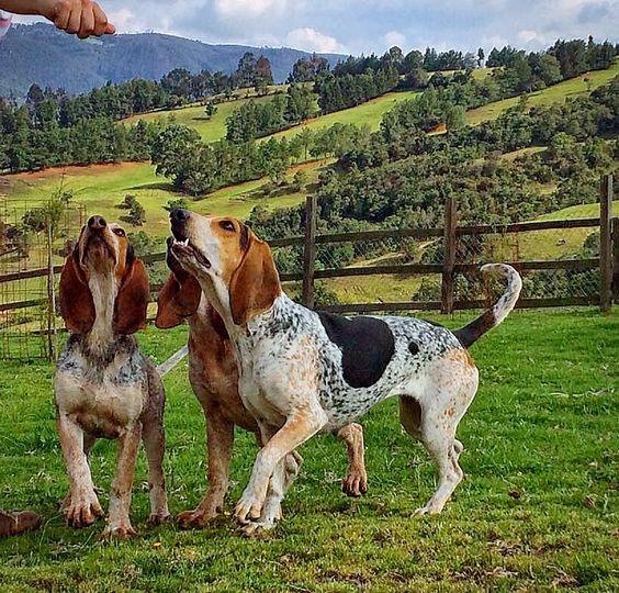 Sabes cuál es la raza de perro colombiana