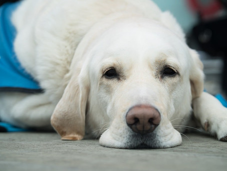 ¿Qué hacer ante los casos de vómito de los perros?