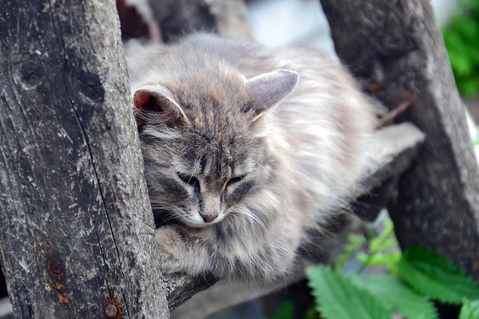 Cómo identificar el dolor en gatos