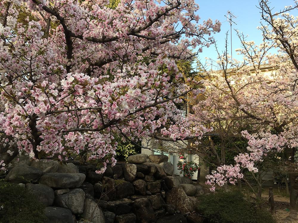 岡本南公園 (別名桜守公園)