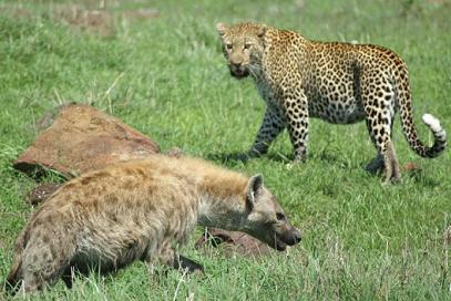 Hienas, leopardos y el valor del equipo en tu Empresa Familiar