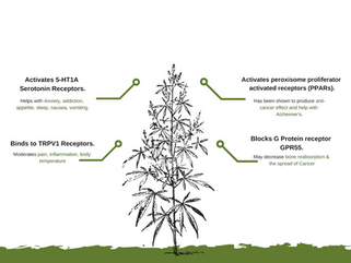 Benefits of CBD (Infograph)