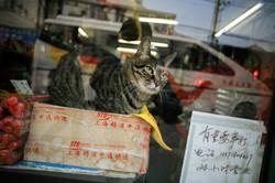 Shanghai cat