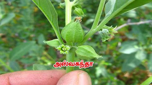 NaturePath_mulagai_2.jpg