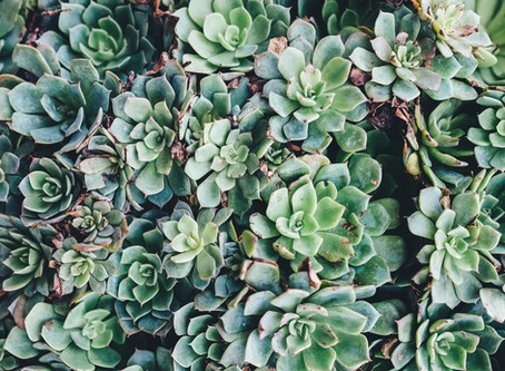 Παχύφυτα, όμορφα φυτά με μεγάλη αντοχή!
