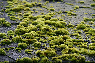 A mossy roof in need of roof moss cleaning in Salem Oregon