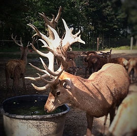 Adirondack Red Stag Bullwinkle