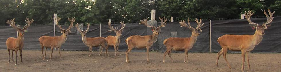 7 deer.webp