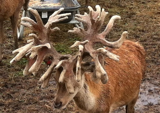 Adirondack Red Stag Spiker Cully