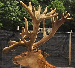 Adirondack Red Stag #1