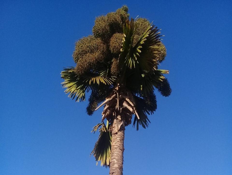 Ela, a palmeira Talipot em todo o seu esplendor/Foto: Eric Bernardes