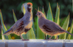 2020-arizona-gambels-quail-birds-sharing