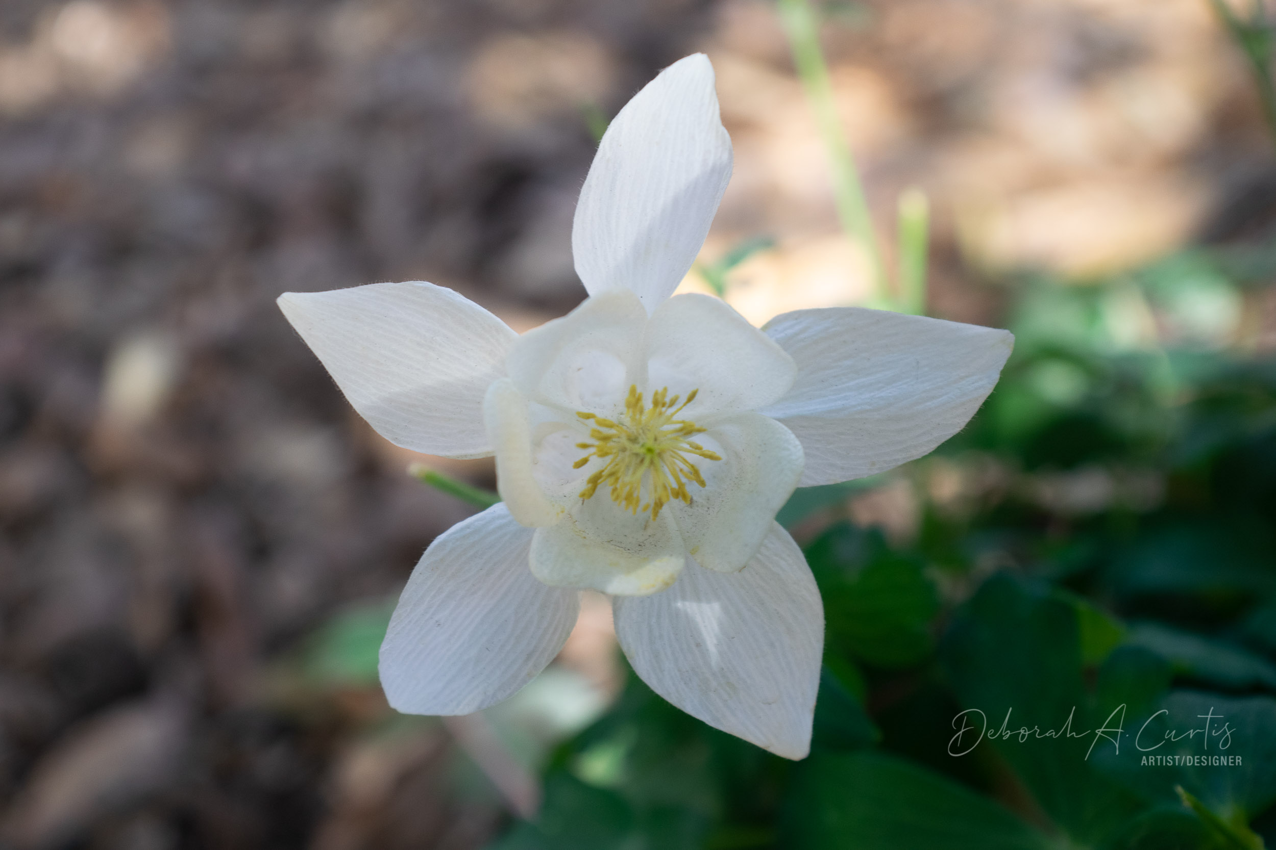 2020-spring-white-arizona-columbine-flow