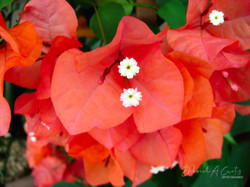 2020-bougainvillea-florida-sunset-orange