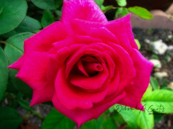 2020-florida-red-rose-flower-sharing-wm-