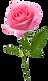 beautiful%2520pink%2520rose%2520flower%2