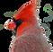 cardinal_edited.png