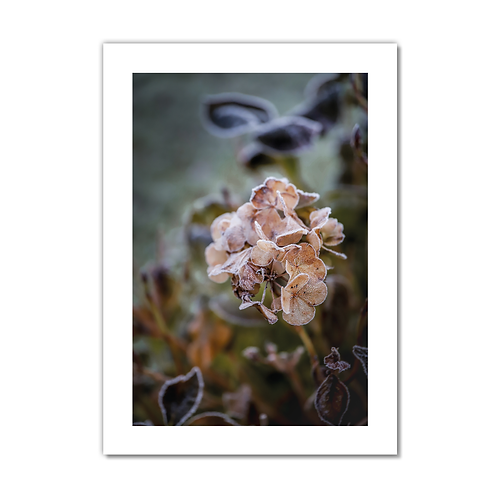 Frosty Flower Collection - Apricot