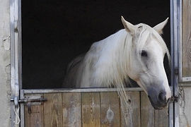 White Horse in Stable.jpg