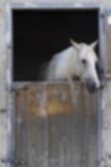 White Horse in Stable.jpg