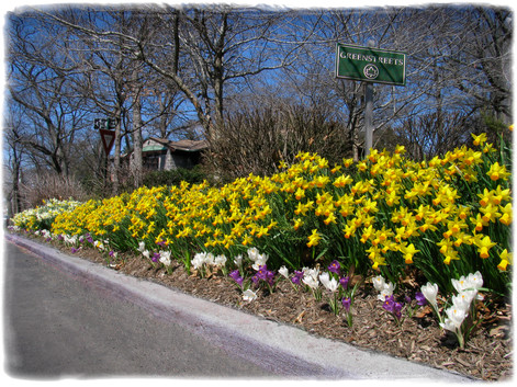 Spring Daffodils and Crocuses