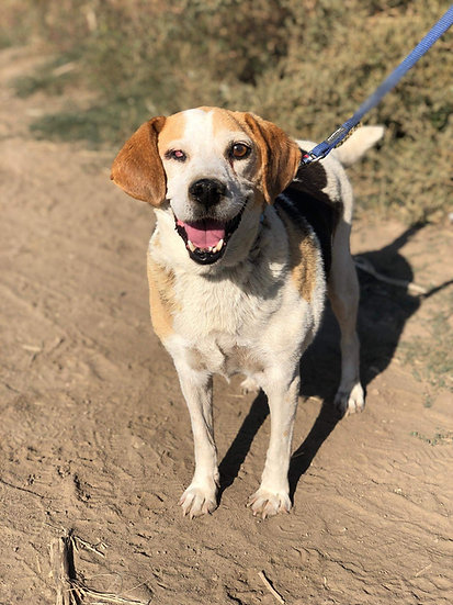 Billy Beagle, 7 years
