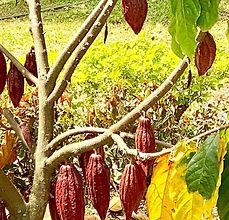 planta de cacao.JPG