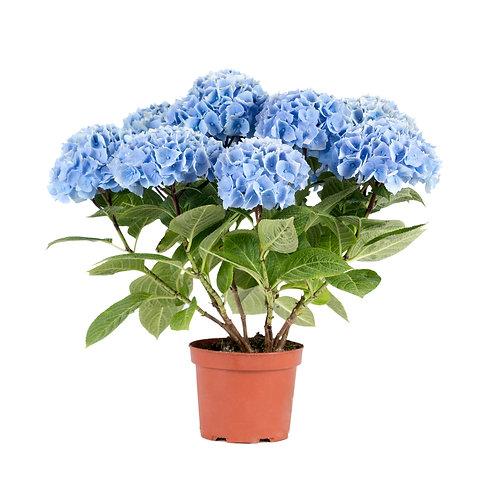 ANKONG BLUE