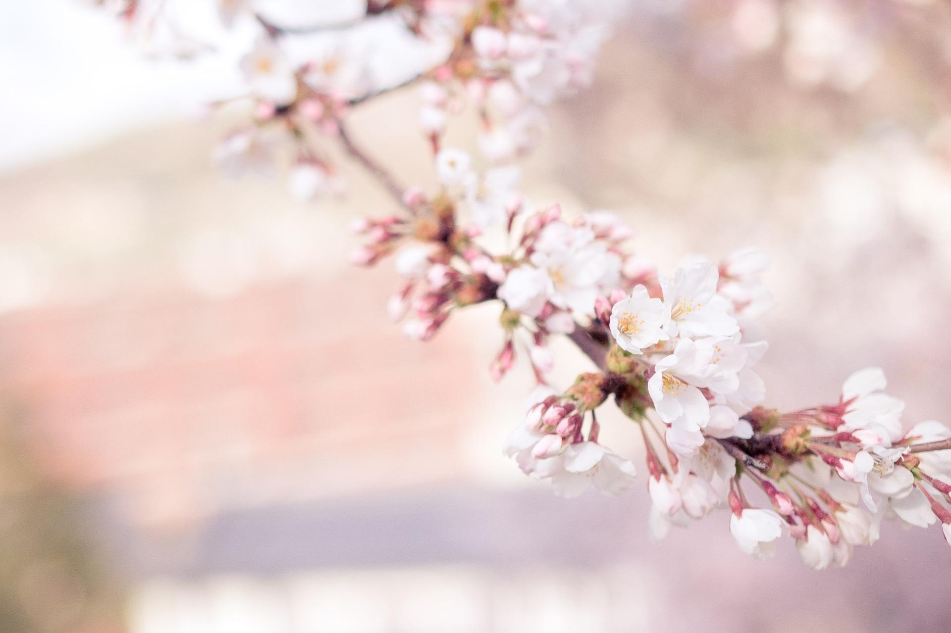 cherry-blossom-1209933_1920