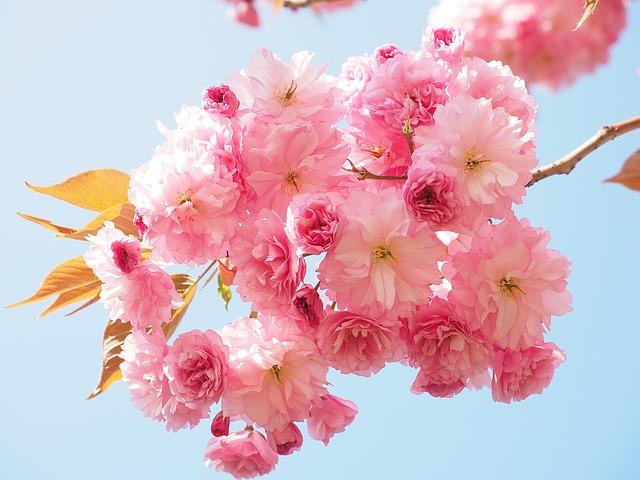 cherry-blossom-1260641_640