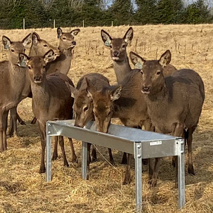 Our red deer