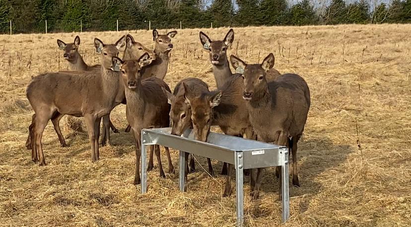 10 red deer feeding at Muir Estate