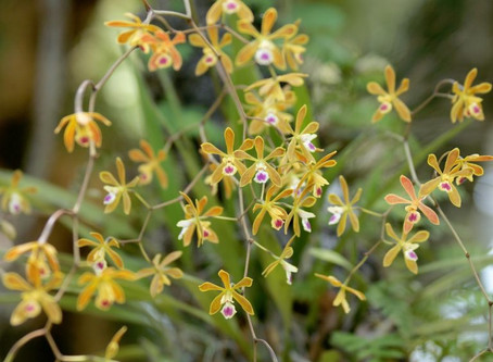 The Million Orchid Project (MOP)