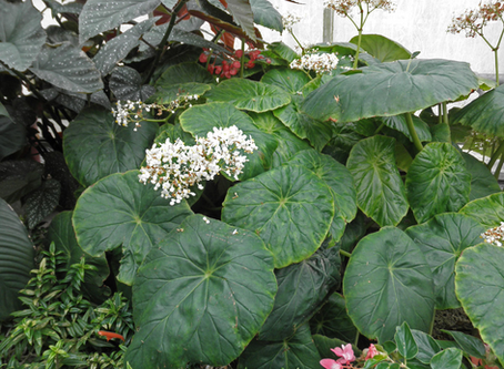 Horticulture Feature: Begonias