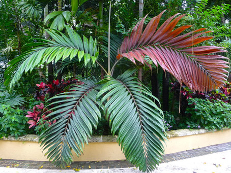 "Palm Spotlight: Chamberyonia macrocarpa ""Flamethrower"""