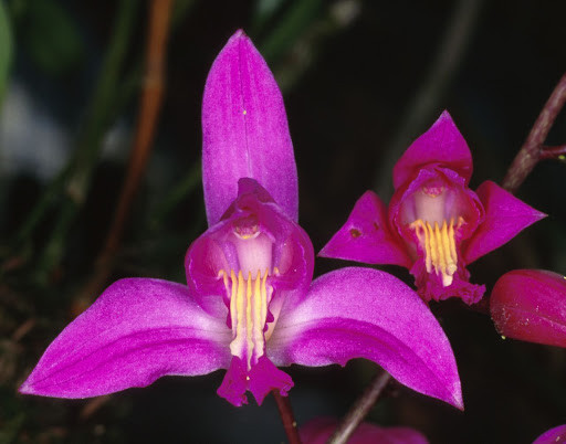 Bletia purpurea