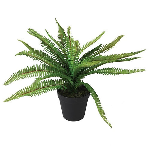 Boston Fern Plant in Pot
