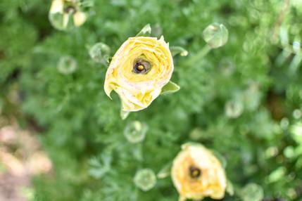 Pastel Lemon Ranunculus