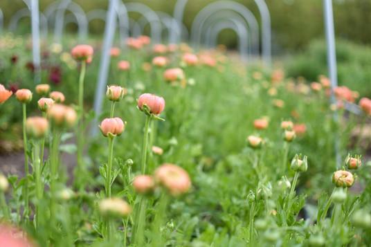 Ranunculus Rows